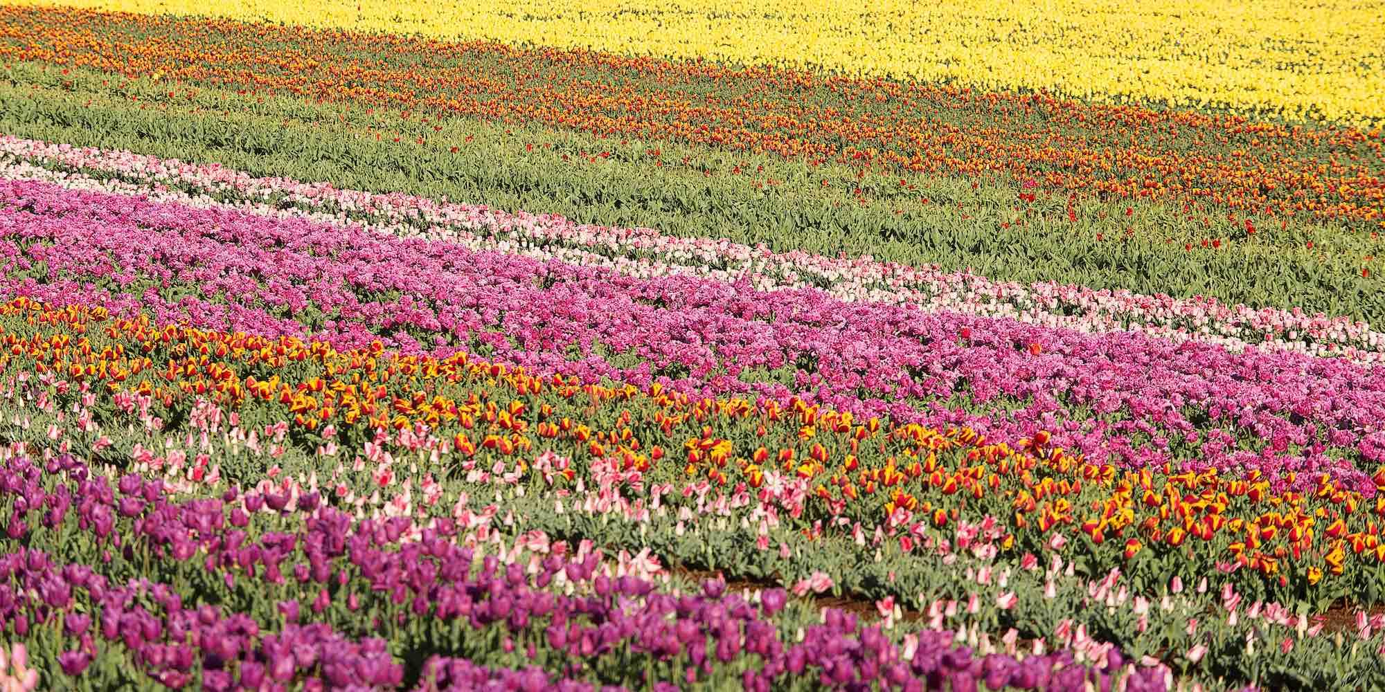 Tulips Table Cape Tasmania